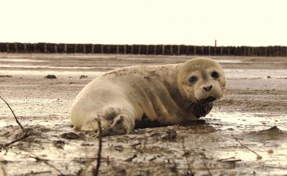 NaturNah: Ein Leben für die Heuler – die Seehundstation Friedrichskoog