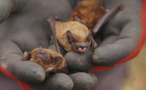 NaturNah: Der heimliche Mitbewohner - Die Fledermaus